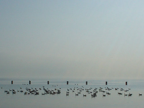 Geese on Lake Michigan